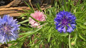 gyógynövények fonálférgek ellen